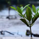 Mangrove Lestari, Lingkungan Asri Masyarakat Pesisir Madani, dihari lingkungan hidup sedunia 5 Juni 2014 Komunitas Mangrove Bengkulu mengadakan penanam 2000 bibit mangrove di Pondok Besi dan muara Sungai Hitam Kota Bengkulu.