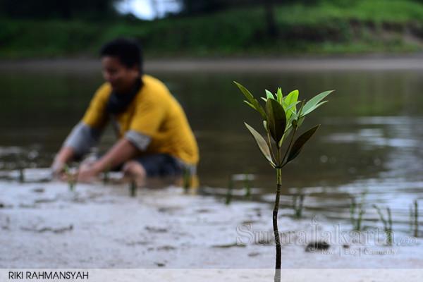 Komunitas Mangrove Bengkulu Tanam 2000 Bibit Mangrove di Hari Lingkungan Hidup Sedunia
