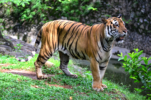 macan harimau sumatera