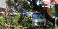 Satu Pohon Angsana Di Cempaka Putih Raya Roboh, Timpah Mobil Countener